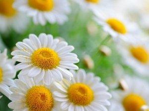 Camomilla: le proprietà di un efficace rimedio naturale