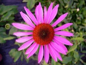 Echinacea: un rimedio naturale contro i malanni da raffreddamento