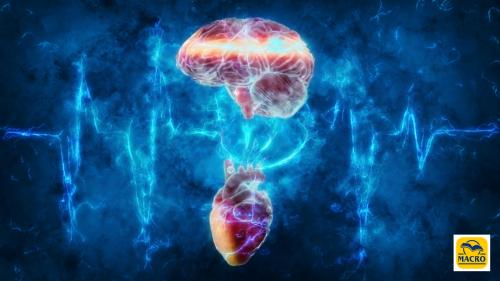 Il «piccolo cervello» contenuto nel cuore