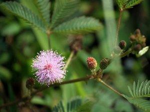 La Mimosa Pudica: anche le piante provano timidezza