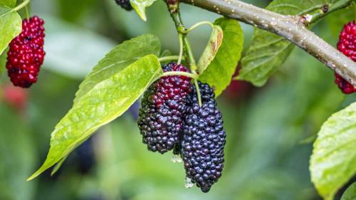 More di gelso, piccoli frutti da riscoprire