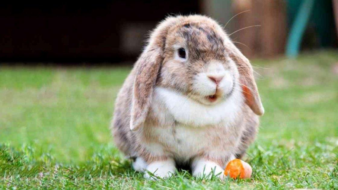 Vivi con un coniglio nano? Ecco cosa dovrebbe mangiare