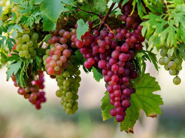 Uva, golosi e benefici grappoli