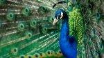 Il Pavone come Animale Guida