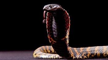 Il Cobra come Animale Guida