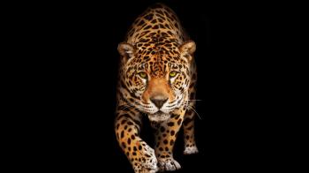 Il Giaguaro come Animale Guida