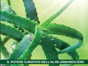 La ricetta dell'Aloe Arborescens di Padre Romano Zago
