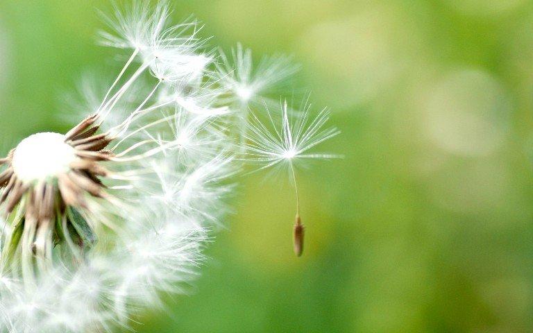 Tisana Di Tarassaco Proprieta E Usi Di Un Potente Rimedio Naturale